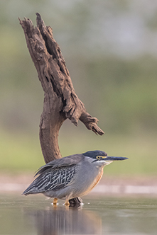 Green-backed Heron branch_th.jpg