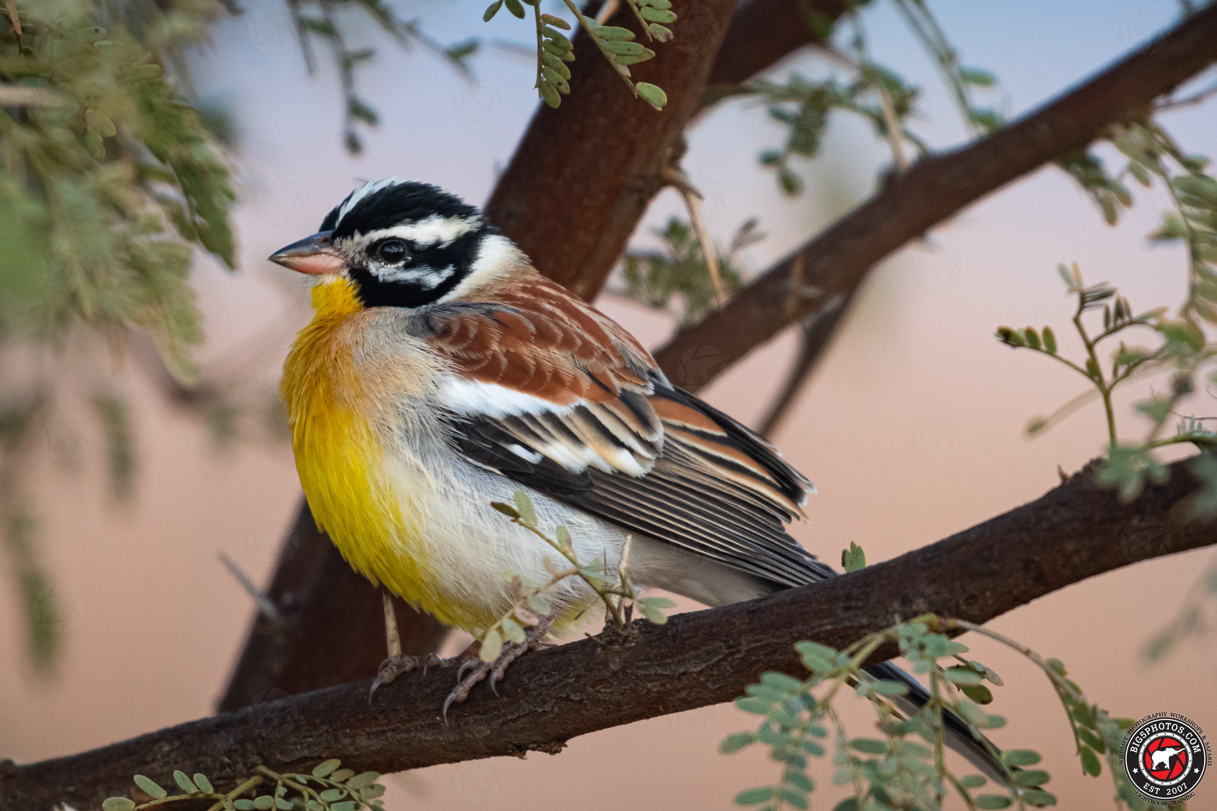 Golden-breasted Bunting.jpg
