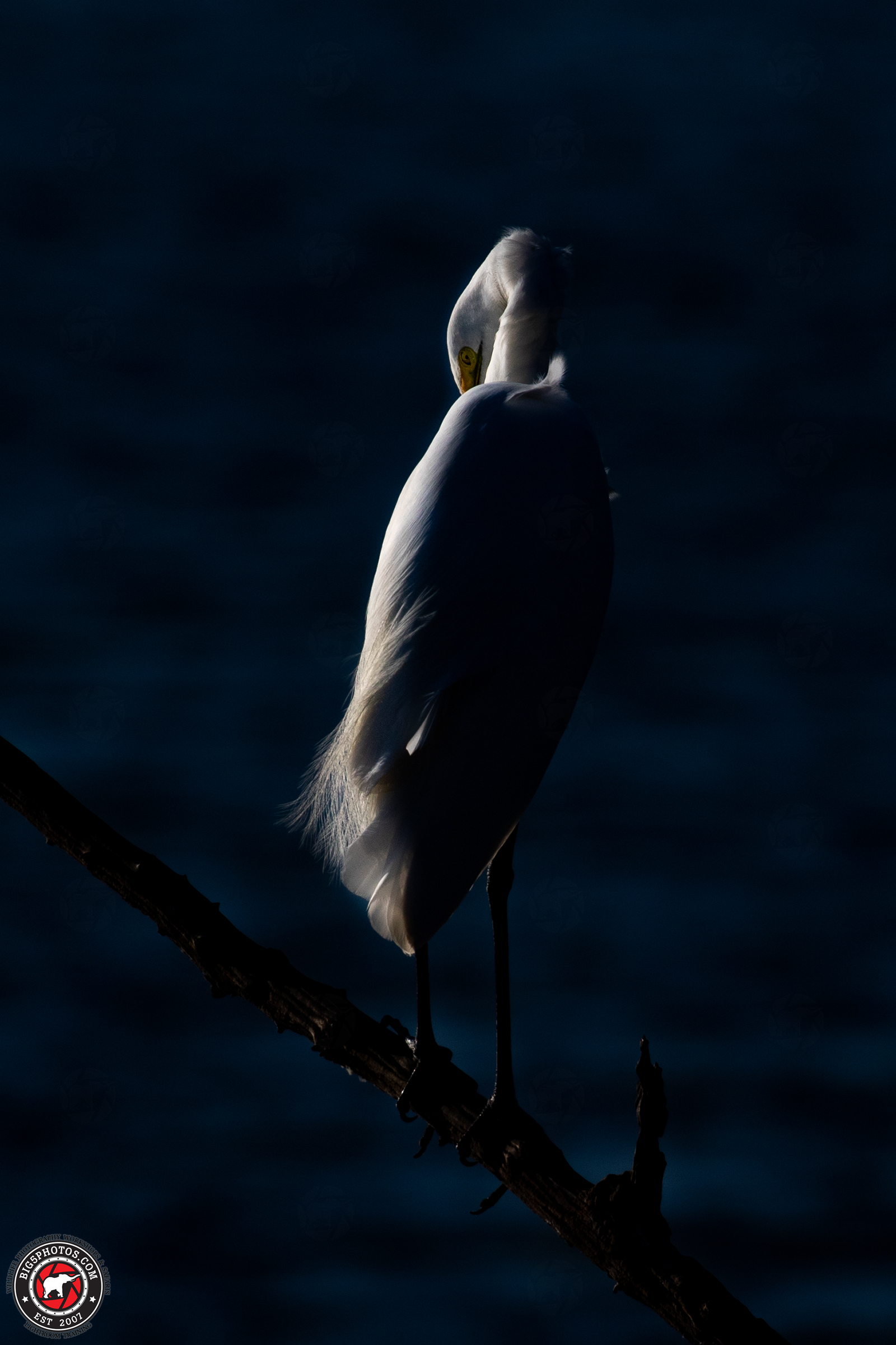 Great-Egret.jpg