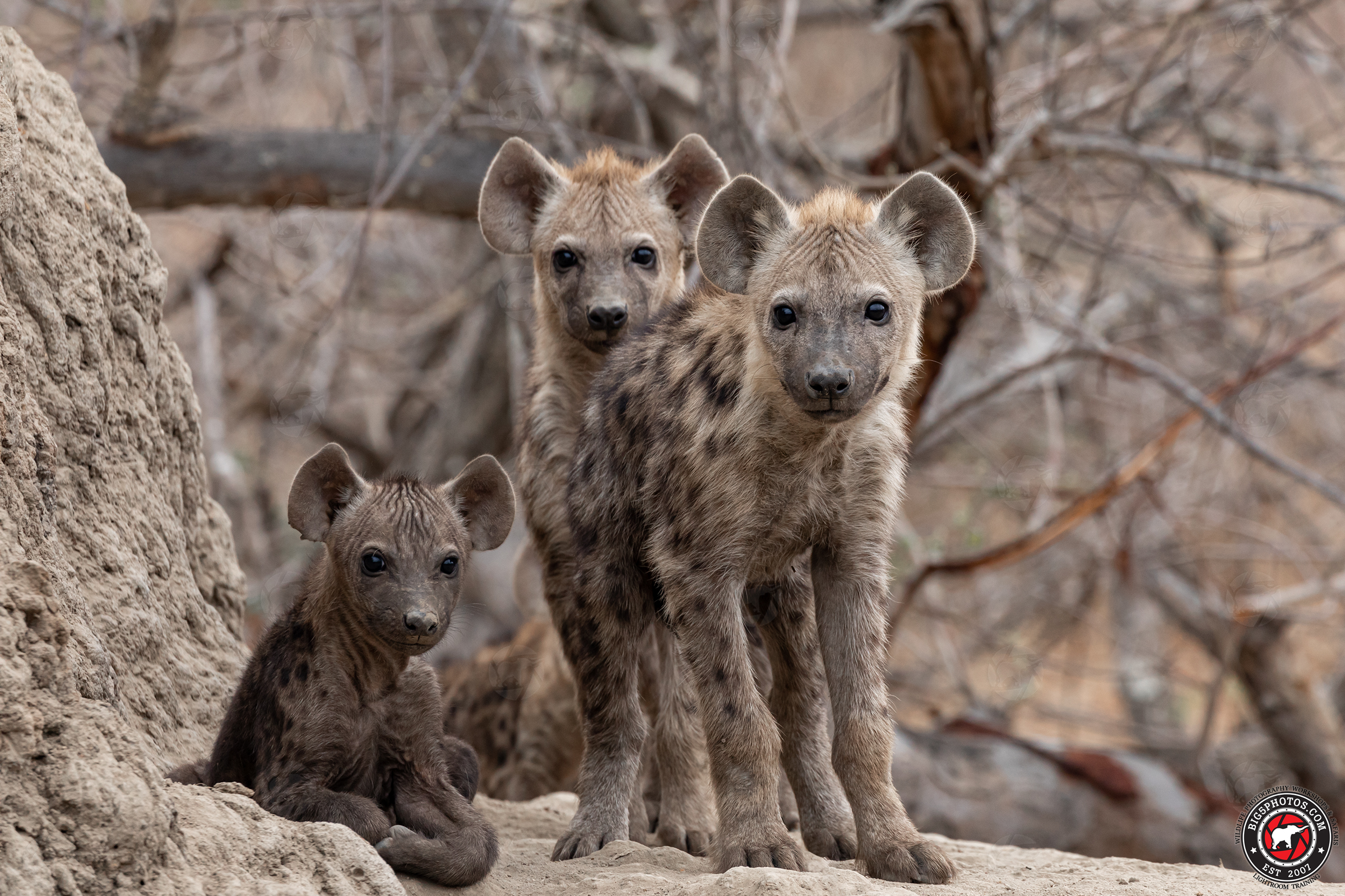Hyena-siblings.jpg